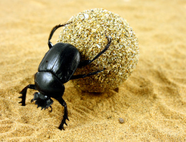 The Sacred Dung Beetles of Ancient Egypt