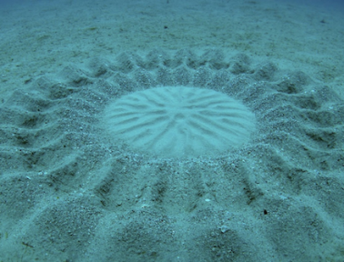 Crop Circles of the Sea: Product of the Pufferfish