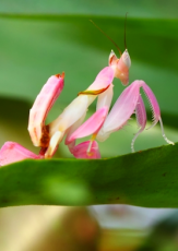 The Orchid Mantis, a Beautiful but Deadly Master of Disguise