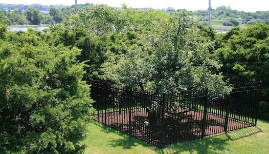 Image result for Endicott Pear Tree