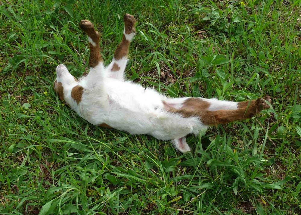 Why Fainting Goats Faint Kids Discover